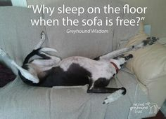 - Dog Expressions, Sleep On The Floor, Italian Humor, Lurcher, Whippets, Italian Greyhound, Four Legged, Cute Dogs, Greyhounds
