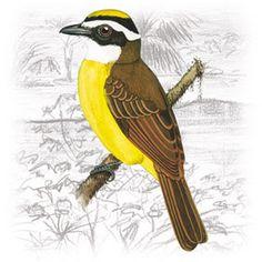 Bem-Te-Vi-Vizinho-Assobiador (Myiozetetes cayanensis)