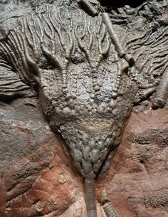Crinoid Sea Lily Fossil, a large prehistoric SEA LILY of the species Scyphocrinus elegans, South Morocco, via paleodirect.com