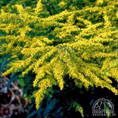 Solidago 'Crown of Rays'. Thrives in clay soil, full sun to part shade, 60x60cm. Flowers mid late summer to early autumn.