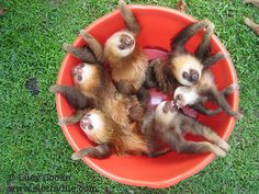 Having a bad day? look at a baby sloth. Having a REALLY bad day? Here, look at this BUCKET of sloths. Feel better?? See, I knew you would!