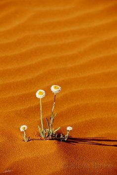 Flowers blooming in the Sahara - the setting for Omari and the People.