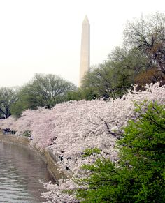 Cherry blossoms adorn the Tidal Basin in West Potomac Park throughout the spring season. The first cherry blossom tree was planted on March 27, 1912 by First Lady Helen Taft and Viscountess Chinda, wife of the Japanese ambassador. The two original trees still stand to this day.