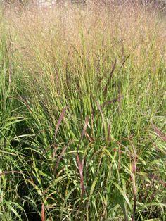 Panicum virgatum 'Shenandoah'. Shenandoah Switchgrass.