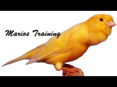 Canário belga canto campainha - canario maestro - YouTube