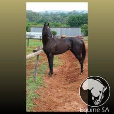 Pack Ice - Unregistered Thoroughbred - Horses for Sale Detail Thoroughbred Horse, Horses For Sale, Ice, Animals, Animales, Animaux, Animal, Animais, Ice Cream Desserts