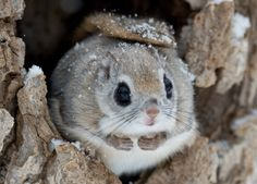 What do you guys think? Baby Animals Pictures, Animals Images, Nature Animals, Animals And Pets, Funny Animals, Cute Animals, Japanese Dwarf Flying Squirrel, Hamster, Lovely Creatures