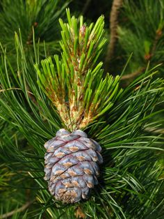 Edible Pine Nut Trees - Rhora's Nut Farm & Nursery - Stone Pines, Korean Pines, etc Essential Oils For Breathing, Essential Oils Cleaning, Edible Plants, Edible Garden, Pine Nut Tree, Fruit Trees, Trees To Plant, Pine Essential Oil, Pine Oil