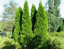 Timanttituija - Thuja occidentalis ´Smaragd´
