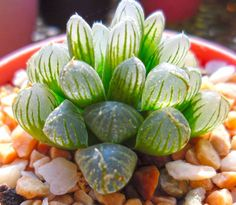 Haworthia cooperi is one of many Haworthia species that is 'windowed'. Where this grows, it receives so much energy from the sun that it would fry the plant, but the plant needs to store water, so it gives up some area of the leaf surface and doesn't put chlorophyll there. So it's basically one little sac of water! This is what creates those beautiful clear windows!