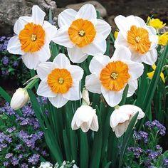 """Professor Einstein"" Daffodils"