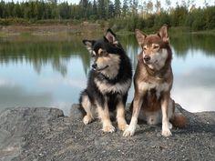 Lapponian (Reindeer) Herder  - Lapinporokoira (in right) and Finnish Lapphund - Suomenlapinkoira (in left)   Koirat.com