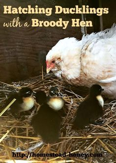 Did you know you can use broody hens to hatch ducklings on your homestead? Here's how!  | Homestead Honey