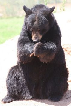 Praying bear...thank you for the meal I'm about to receive...  :)