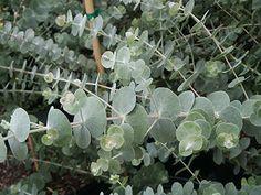 Eucalyptus pulverulenta 'Baby Blue' (Silver Dollar Tree)