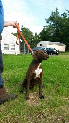 Eleanor Sonsini Animal Shelter Page Liked · August 12 ·     Missing german shorthair around Dodge Ave in Pittsfield. He is large intact male brown in color not sure if he has a collar or harness on. Name is Flash. He is aloof not used to people. Please call the shelter with any info (413)448-9800