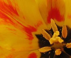 Colors of a Tulip flower - Flickr - Photo Sharing!