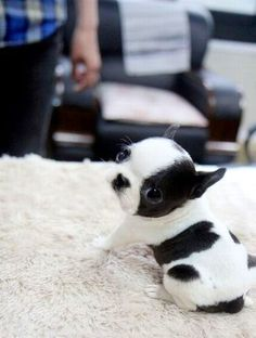 Boston Terrier puppy - oh my goodness!  what a sweetie! ~Debbie