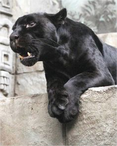 Beautiful black panther.  Sad that we are loosing such amazing creatures.