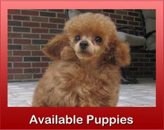 Toy Poodles, Teacup Poodles, Tiny Toy Poodle Puppies for Sale - Homestead Poodles Teacup Poodles For Sale, Toy Poodles For Sale, Toy Puppies For Sale, Teacup Poodle Puppies, Maltipoo Puppies For Sale, Tea Cup Poodle, Cute Puppies, Corgi Puppies, Teacup Maltipoo For Sale