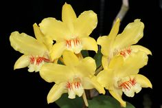 Dendrobium lowii - Grown by Cynthia Hill Indian Music, Flowers, Plants, Plant, Royal Icing Flowers, Flower, Florals, Floral, Planets