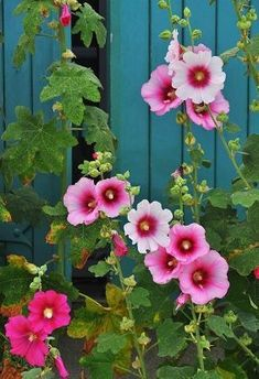 When I see hollyhocks they remind me of my moms flower garden when a child.