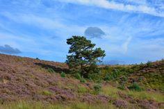Heidewandeling op mijn favoriete   Posbank. ( Gelderland) Eén van de mooiste heide gebieden in Nederland, mede door de heuvels en hoogteverschillen