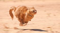 Orange tabby cat running full speed across red sand by Sari ONeal, via ShutterStock Crazy Cat Lady, Crazy Cats, Cat Nutrition, Cat Run, Orange Tabby Cats, Cat Behavior, I Love Cats, Funny Cats, Cat Lovers