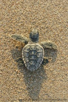 Funny pictures about Baby Sea Turtle. Oh, and cool pics about Baby Sea Turtle. Also, Baby Sea Turtle photos. Baby Sea Turtles, Cute Turtles, Ocean Creatures, Cute Creatures, Africa Nature, Turtle Love, Pet Turtle, Turtle Beach, Tortoise Turtle