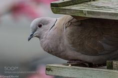 eurasian collared dove - Pinned by Mak Khalaf eurasian collared dove on/in a birdfeeder Animals animalanimalsbackyardbirdbirdseurasian collared doveflowersgardentreeturkse tortelwildwildlife by gerardnicolai