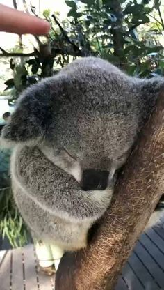 A quality koala hug Best Picture For Cutest Baby Animals so cute For Your Taste You are looking for Super Cute Animals, Cute Little Animals, Cute Funny Animals, Cutest Animals, Funny Koala, Koala Meme, Funny Animal Videos, Animals And Pets, Newborn Animals