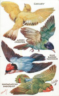 Canary, Andes Creeper, Blue Blacked Mannikin, Madagascan Paroquet from the Birds on the Wing Series II: Oilette, after the original painting by M. Science Illustration, Bird Illustration, Illustrations, Vintage Birds, Vintage Art, Bird Pictures, Fauna, Bird Prints, Bird Art