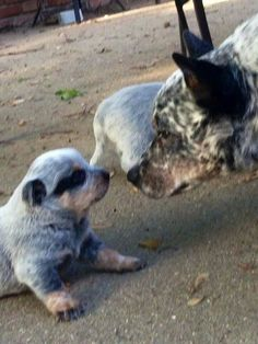 Father teaching Son....this is the Cattle Dog stare my boy.....
