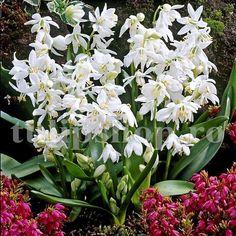 """Soiul de viorea alba este un hibrid nou obtinut ce infloreste mai bogat, cu flori mai mari si mai inalte decat soiul tranditional albastru.  Bulbii de viorele se inmultesc usor, formand in paduri si la marginea lor adevarate covoare albe. Se descurca bine si la soare, dar si in zonele semiumbrite. Vioreaua alba face parte parte din florile numite ''Vestitorii primaverii"""" pentru ca infloreste primavara devreme, de multe ori inflorind alaturi de ghiocei, branduse de primavara si altele. Spring, Garden, Garten, Gardening, Outdoor, Gardens, Yard, Tuin"""