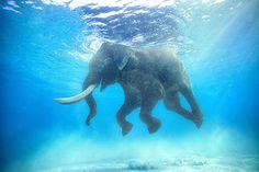 Jody Macdonald, Rajan V, 2010 / 2014 © www.lumas.de/ #LumasAndamanen-Inseln,  Asien,  baden,  Bewegung,  Bewegungen,  blau,  Elefant,  Elefanten,  Fotografie,  Indien,  Myanmar,  Schwimmen,  Tier,  Tiere,  Tierwelt,  Unterwasser,  Wasser
