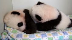 Get.Off.Me.  #ZAPandaCubs