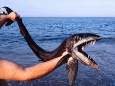 Rare deep sea fish washes ashore on North Carolina coast...6 foot creature released TWICE back into the ocean...oh man!