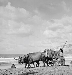 Portugal in 1956: An ox-cart on the beach was not an unusual sight.