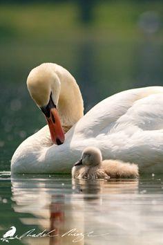 Beautiful Swan, Beautiful Birds, Animals Beautiful, Cute Baby Animals, Animals And Pets, Funny Animals, Cygnus Olor, Swan Pictures, Mute Swan