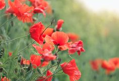 Poppies - The hallmark of summer