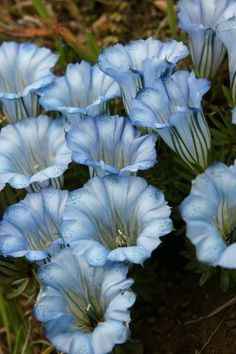 Gentiana hexaphylla: