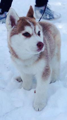 Siberian husky puppy in snow <3