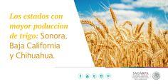Los estados con mayor producción de trigo son: Sonora, Baja California y Chihuahua. SAGARPA SAGARPAMX
