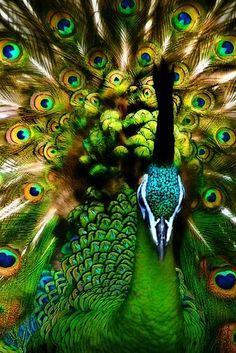 paon avec couleurs magnifiques
