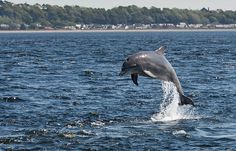 Jumping Dolphin at Channonry Point, Fortrose