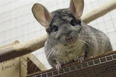 A Chinchilla's Prayer | Small Pet Select http://ow.ly/aOjNF