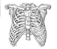 Anatomy Drawing Ribcage, unframed by marcgosselin - When I first saw Marc's work I thought wow, I have to feature this amazing artist but instead I ended up interviewing him. Let's meet Marc! Rib Cage Anatomy, Anatomy Bones, Skeleton Anatomy, Anatomy Art, Anatomy Drawing, Human Anatomy, Anatomy Sketches, Art Sketches, Art Drawings