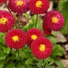 English Daisy Red Flower Seeds (Bellis Perennis) - Under The Sun Seeds - 1 Bellis Perennis, Pretty Flowers, Annual Plants, Flower Seeds, Love Flowers, Flower Arrangements, Daisy Flower, All Flowers, Rare Flowers
