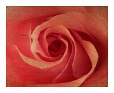 Pink valentine rose photography print warm romantic by NanaMontana, $20.00