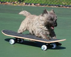 Maverston Cairn Terrier on a skate board :)) (My Louise was a Maverston cairn. Huge Dogs, I Love Dogs, Cairns, Cute Baby Animals, Animals And Pets, Cairn Terrier Puppies, Dog Ramp, Cute Dog Photos, Silly Dogs